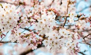 つい心惹かれちゃう!春が近付くと突如として増える「桜味」のグルメたち
