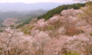 もうすぐ桜開花♪お花見の季節到来!桜の本数が多い名所ベスト3を紹介