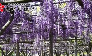 まるで薄紫のカーテン!藤の花の季節が到来、都内の藤の名所「亀戸天神社」