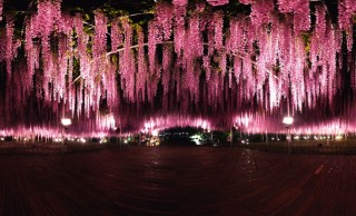 まるで夢の中みたい!栃木が誇る「世界が認めた藤の花」の360度VR動画が公開