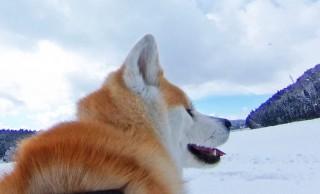 犬のお散歩感覚で♪秋田犬の目線でストリートビューが楽しめる「ドッグビュー」