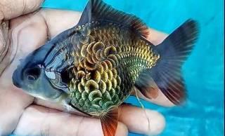 生きる芸術作品!まるで浮世絵に描かれたかのような美しい鱗の金魚が話題に!