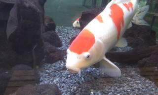 泳ぐ宝石「錦鯉」もともとは食用だった?なぜ「ニシキゴイ」と呼ばれるようになったの?