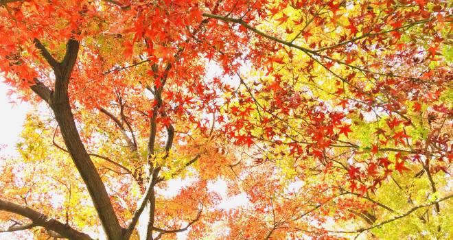 今が見ごろ!名勝・小石川植物園の大銀杏の紅葉を楽しみながら歴史を感じよう