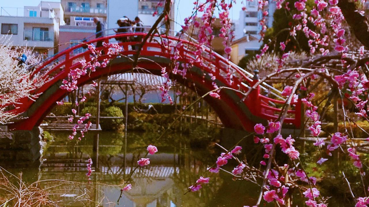 ついに満開!学問の神様・菅原道真公をお祀りする「亀戸天神社」の梅が見頃を迎えました