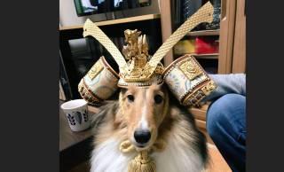 イケメン!犬にかぶらせてみた五月人形の兜がジャストフィットしすぎとネットで話題に(笑)