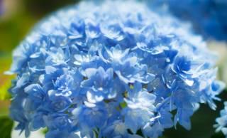 紫陽花に隠された秘密。6月の花「あじさい」を使ったおまじないって知ってる?