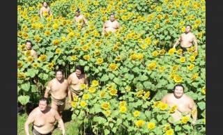 まるでひまわり畑に集う妖精さん(笑)この世の楽園?真夏に戯れる力士たちの写真が話題に