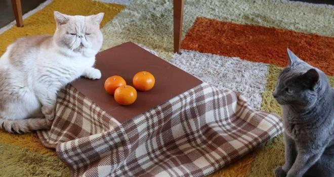 ミニサイズのネコ専用こたつ付きみかん「猫と、こたつと、思い出みかん」が発売!
