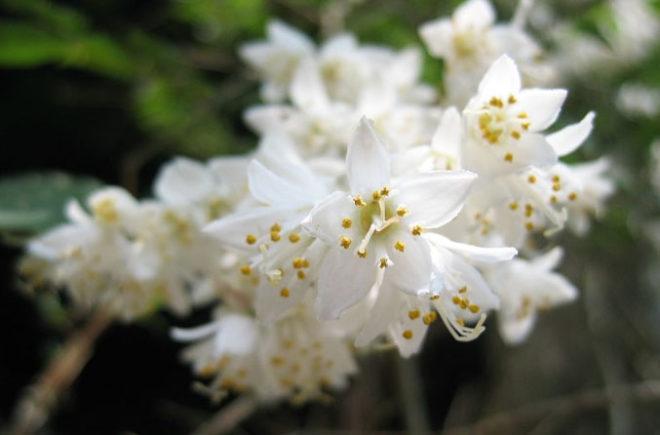 ウツギの花
