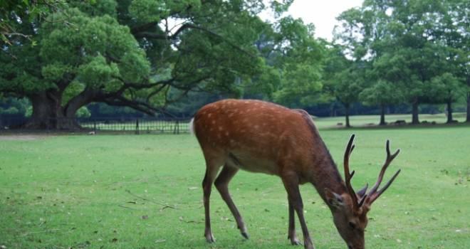 鹿のため死刑になった逸話も。奈良の鹿って誰が管理してるの?あまりにも当たり前の光景で…