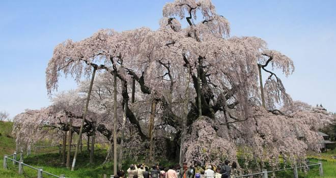 「桜の樹の下には屍体が埋まっている」という都市伝説の真相。元ネタはとある小説