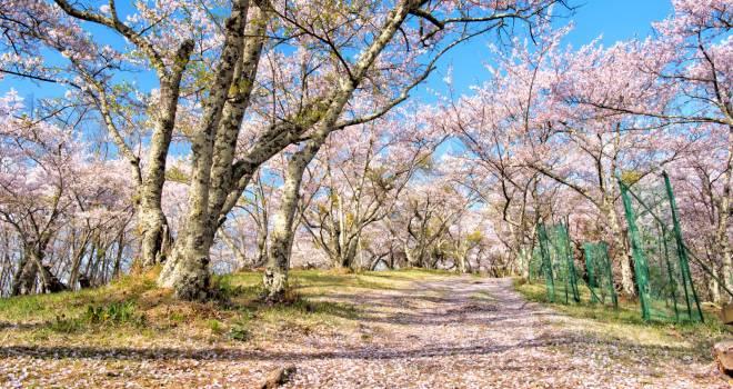 「サ」は山の神を表し「クラ」は神が憑依する依り代を表す ー 日本人と花見の文化1