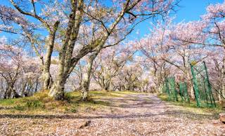 かつて日本では桜よりも梅が人気だった時代もあった ー 日本人と花見の文化2