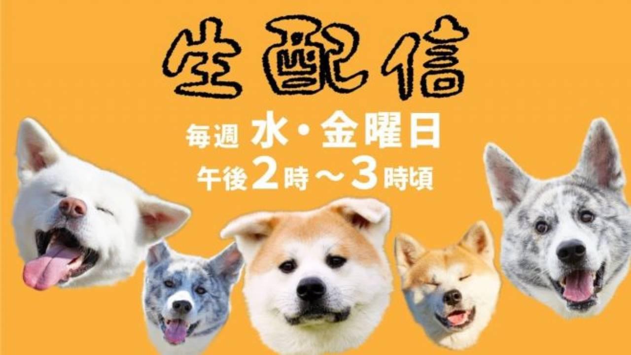 オンラインで秋田犬を見てほっこりしちゃうワン♪秋田市の保護団体、動画を生配信!