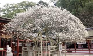 会いたくて…主を慕い都から海をひとっ飛び。樹齢千年「飛び梅伝説」の梅が咲く春が来た 【後編】
