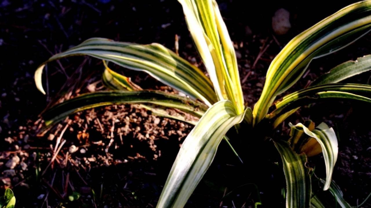 江戸時代に大ブーム!徳川家康にゆかりがある縁起物の植物「万年青(おもと)」の歴史と魅力