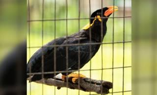 九官鳥の名前の由来、実はとんだ間違い翻訳から生まれた名前だった